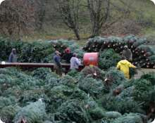 Bailing Noble Firs