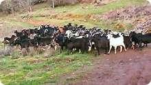 Goat Cattle
