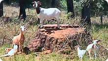 Triangle Seeds Inc  - Goat Livestock for Meat and Brush Control