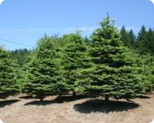 Noble Christmas Trees